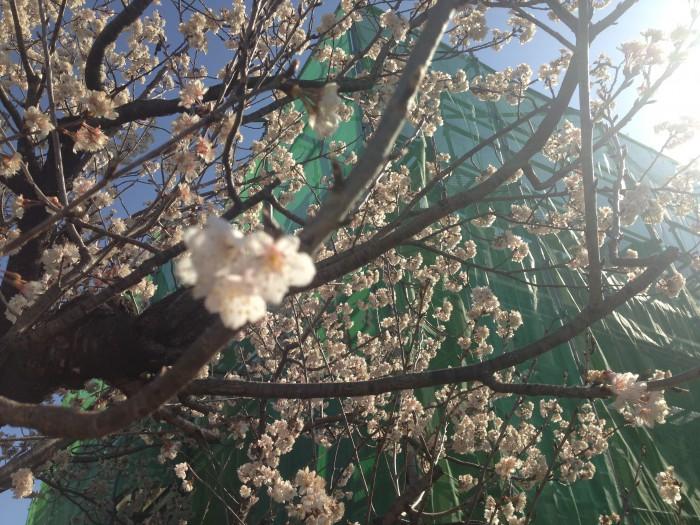 20160322工場の桜 (3)
