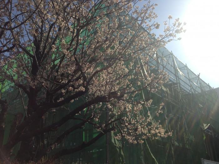 20160322工場の桜 (1)