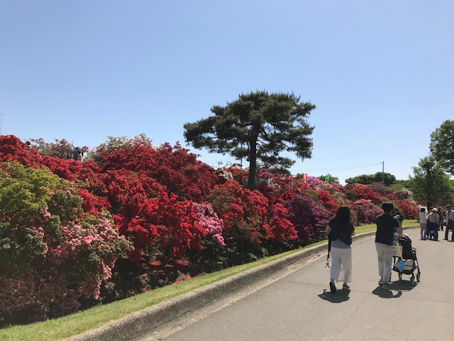 館林 つつじが岡公園(花山公園) 新公園のツツジ2