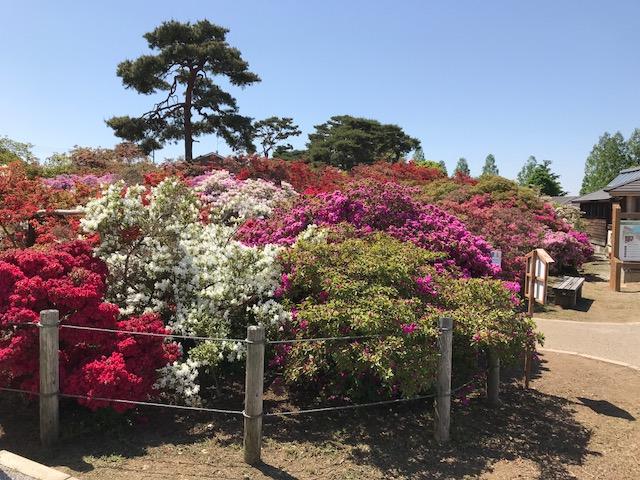 館林 つつじが岡公園(花山公園) 色とりどりのツツジと松