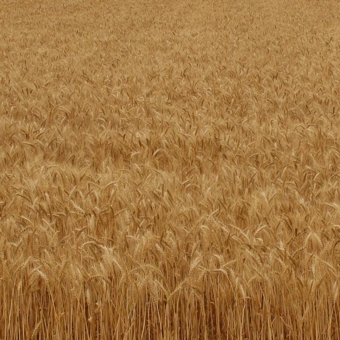 花山うどん 契約農場 収穫前