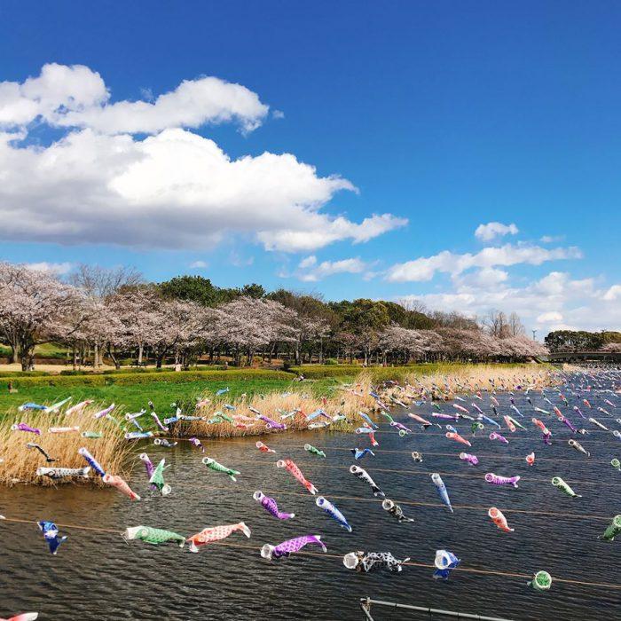 城沼の桜と鯉のぼり