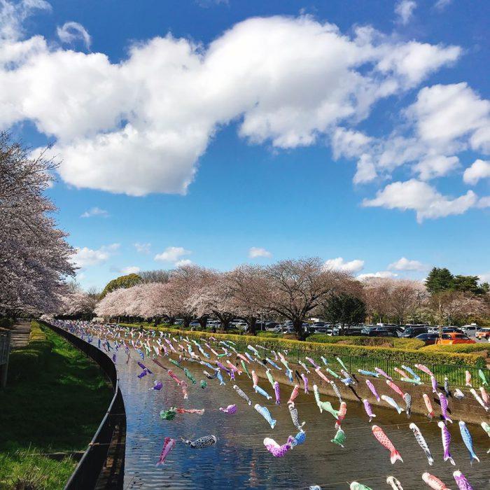 鶴生田川の桜と鯉のぼり