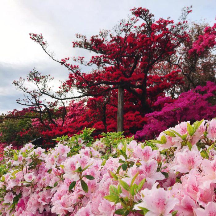 館林 つつじが岡公園(花山公園) 見頃のツツジ2020年04月20日(2)