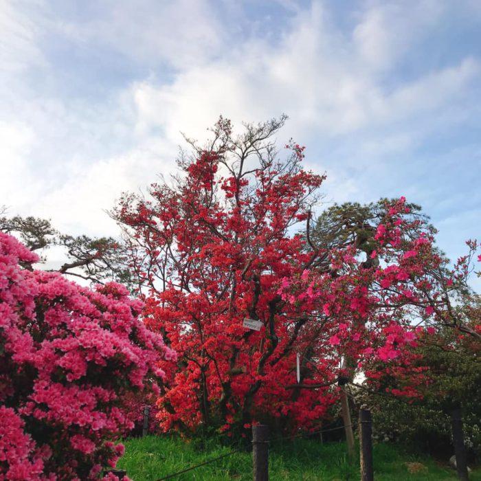 館林 つつじが岡公園(花山公園) 見頃のツツジ2020年04月20日(3)