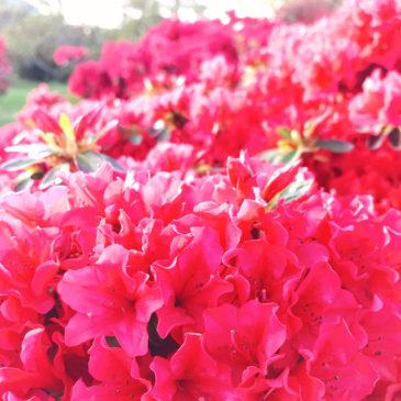 館林つつじが岡公園(花山公園) ツツジ 濃いピンク