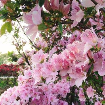 館林つつじが岡公園(花山公園) ツツジ 淡いピンク
