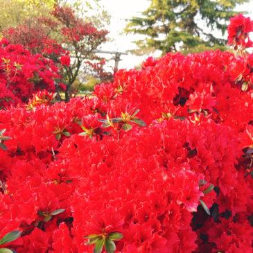 館林つつじが岡公園(花山公園) ツツジ 深紅