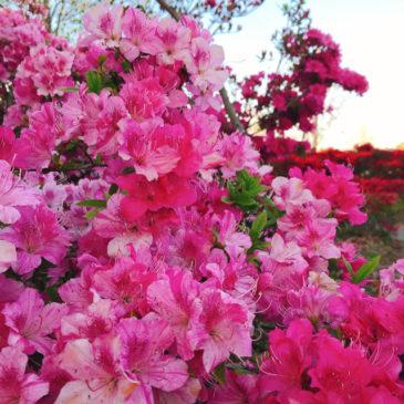 館林つつじが岡公園(花山公園) ツツジ ピンク