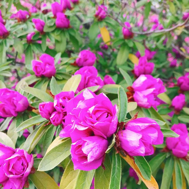 館林つつじが岡公園(花山公園) バラのような八重咲