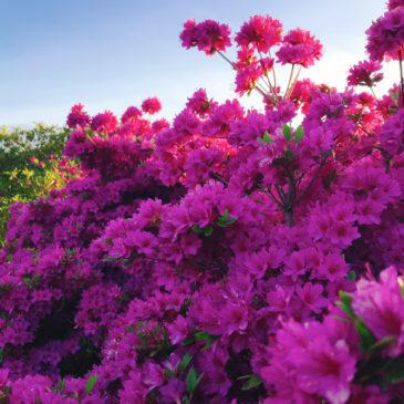 館林つつじが岡公園(花山公園) ツツジ 紫