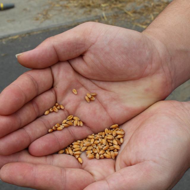 収穫した小麦の粒