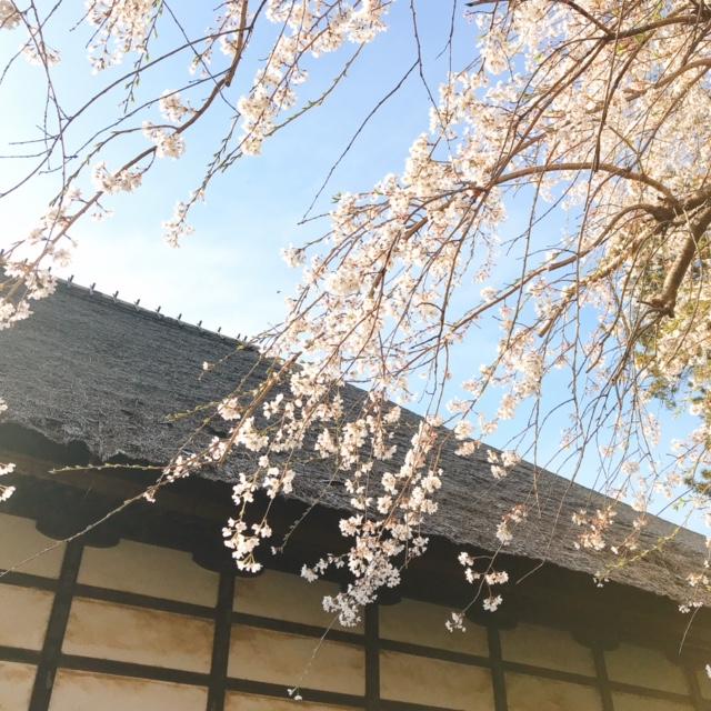 茂林寺 かやぶき屋根としだれ桜