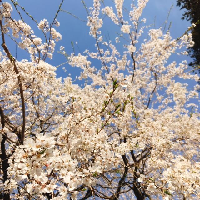 茂林寺 しだれ桜と青空