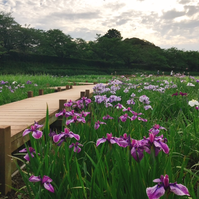 花菖蒲園5